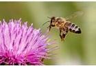 Foto abelha na flor