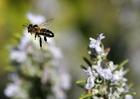 Foto abelha no voo