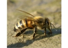 Foto abelha
