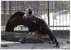 Foto abutre