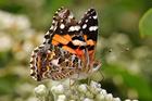 Foto borboleta - painted lady australiana