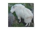 Foto cabra da montanha