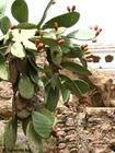 Foto cactus com frutas
