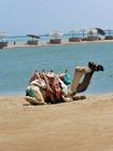 Foto camelo