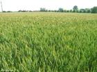 Foto campo de grãos