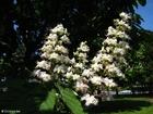 Foto castanheira-da-índia em flor 2