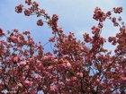Foto cerejeira japonesa 2
