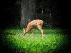 Foto cervo