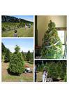 Foto comprando uma árvore de Natal
