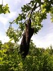 Foto enxame de abelhas