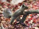 Foto esquilo japonês