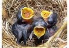 Foto filhotes de passarinhos