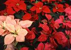 Foto flor-de-natal