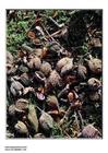 Foto frutos da faia