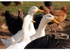 Foto gansos e patos