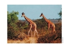 Foto girafa