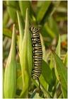 Foto lagarta da borboleta monarca