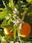 Foto laranjas com flores