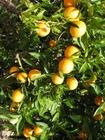 Foto laranjas-