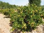Foto laranjeira