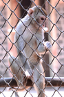 Foto macaco em cativeiro
