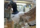 Foto o primeiro pássaro conhecido - Archaeopteryx (modelo)