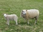 Foto ovelha com cordeiro
