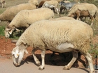 Foto ovelhas