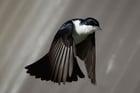 Foto pássaro Myiagra inquieta