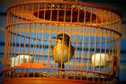 Foto pássaro na gaiola - em cativeiro