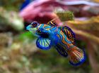 Foto peixe - Synchiropus splendidus