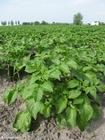 Foto plantação de batatas