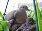Foto pomba com filhotes
