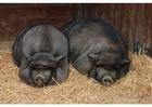 Foto porcos