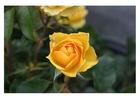 Foto rosa amarela