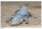 Foto crocodilo