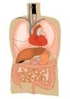 imagem órgãos internos