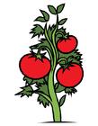 imagem pé de tomate