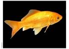 Foto peixe dourado