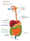 imagem sistema digestivo em Francês