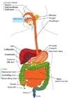 imagem sistema digestivo em Inglês