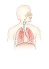 imagem sistema respiratório