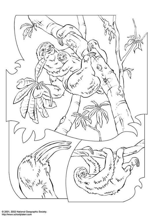 página para colorir bicho preguiça img 3068