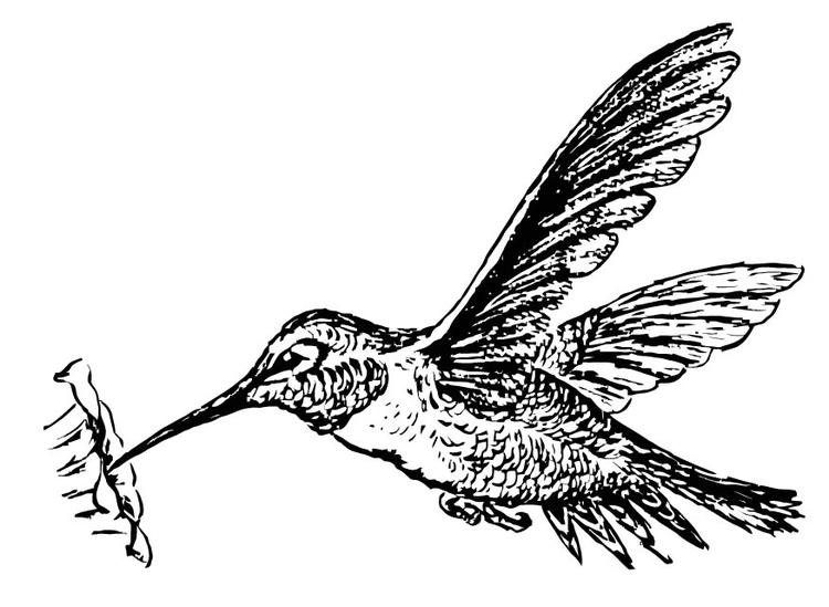 Página para colorir colibri - img 15722.