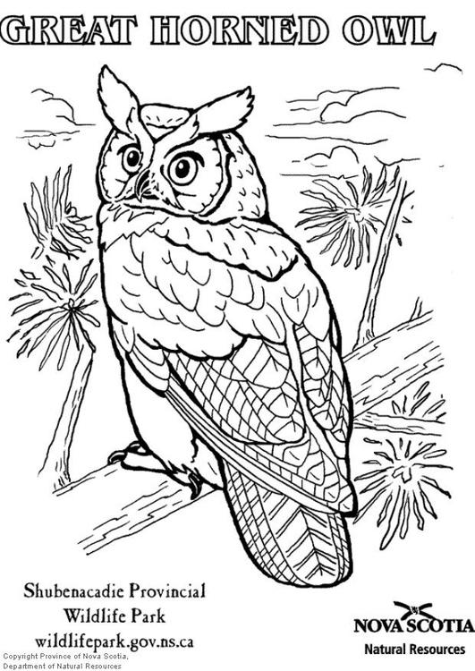 Desenho Para Colorir Coruja Americana Imagens Grátis Para