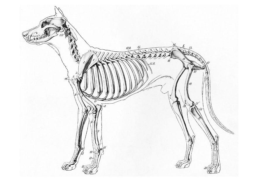 P 225 Gina Para Colorir Esqueleto De Um Cachorro Img 19660