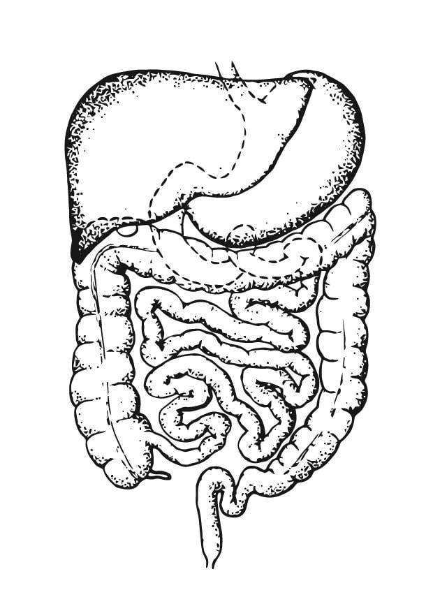 p u00e1gina para colorir intestinos