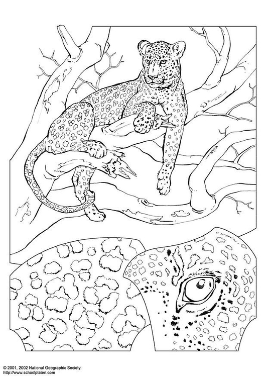 P 225 Gina Para Colorir Leopardo Img 3069 Images