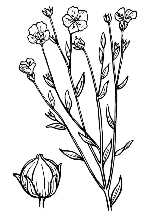 P gina para colorir linho img 27310 for Plantas ornamentales para colorear