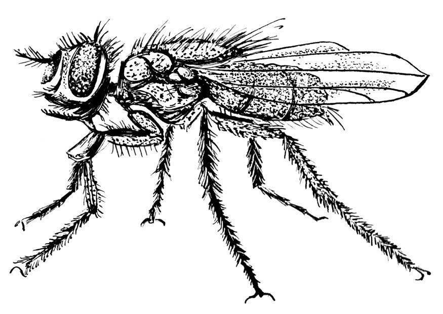 P gina para colorir mosca img 18750 - Dessin de mouche ...